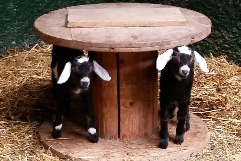 two small goats