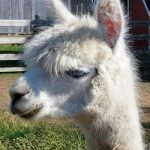 closeup of young white alpaca