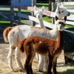 alpacas looking at camera